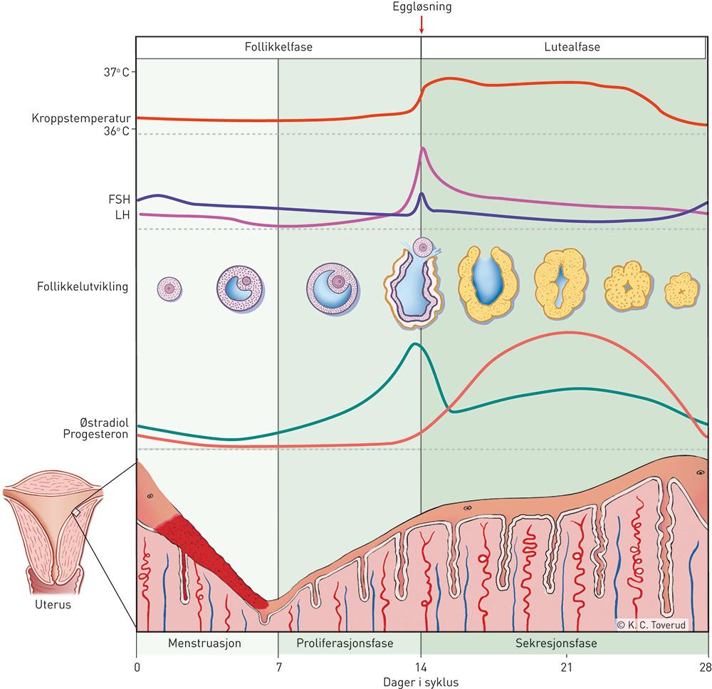 gravid og hormoner