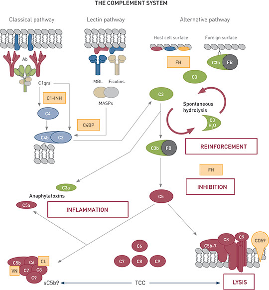 Therapeutic Complement Inhibition From Experimental To